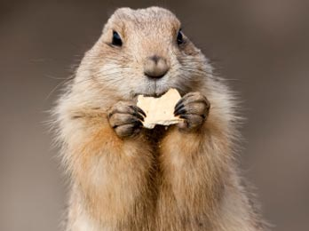 How much wood would a woodchuck chuck if a   GetOdd